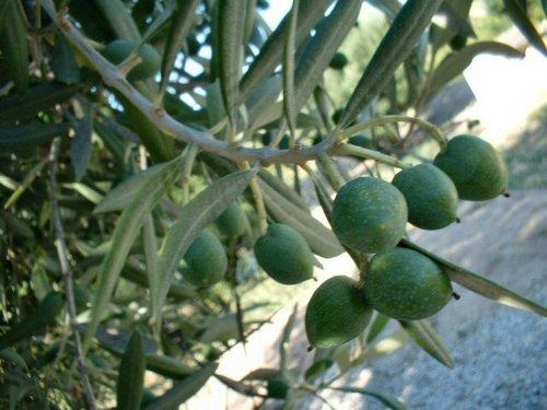 Fotos de Benissa: olivos, aceitunas...