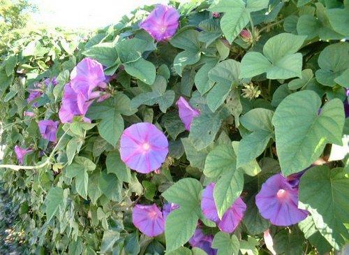 Benissa enredadera de campanillas violetas - Enredaderas de interior ...