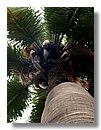 Jubaea Chilensis palmera