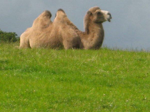 safari-camellos