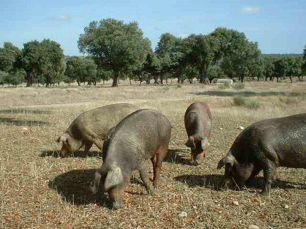 cerdos-ibéricos