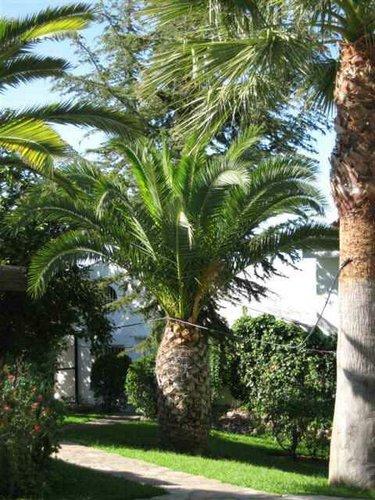 El reino plantae cultivar palmeras - Palmeras para jardines ...