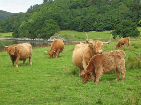 Vacas Escocia