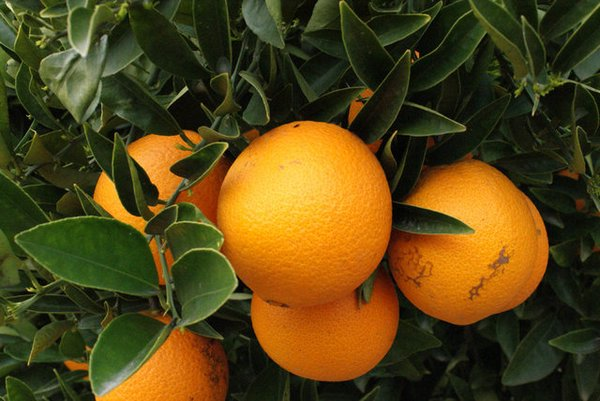 Fotos de Frutas: Naranjas