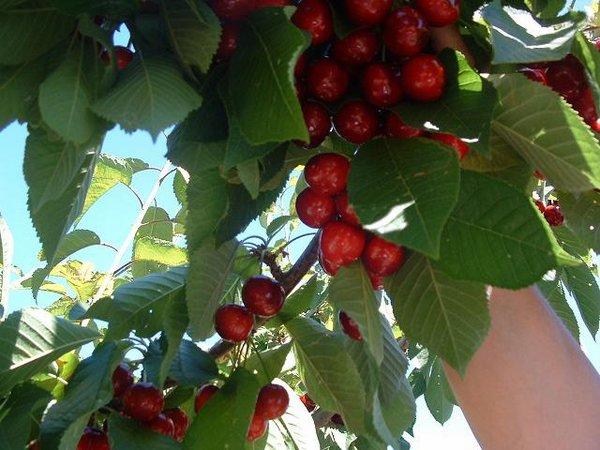 Fotos de Frutas: Cerezas
