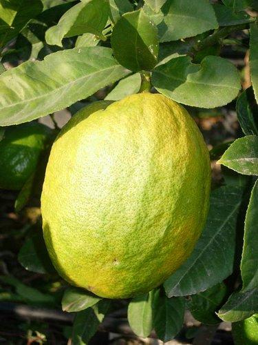 Fotos de Frutas: Limones
