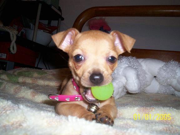Bombon Chihuahua