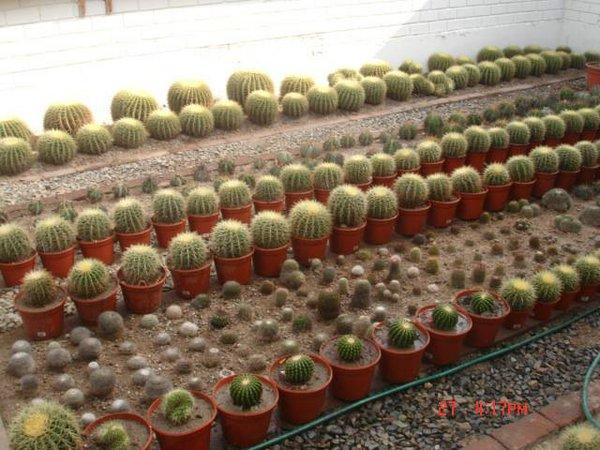 Cactus del peru 00 jpg for Cactus variedades fotos