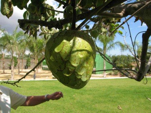 Fotos de Frutas: Chirimoyas