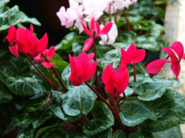 Ciclamen 00 jpg - Plantas de jardin fotos ...