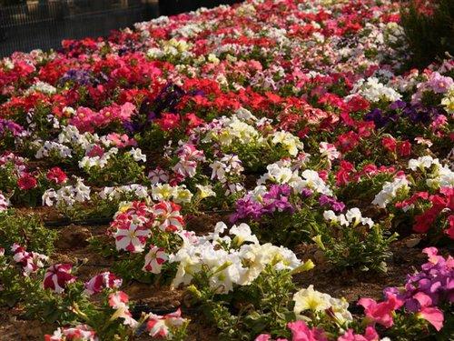 Flores resistentes al sol cuidar de tus plantas es - Plantas de exterior resistentes al calor ...