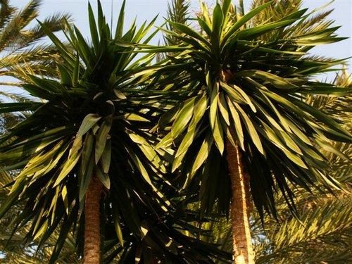 Protegen a la yuca a nivel mundial udual press for Yuca planta de exterior