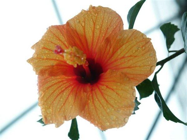 Hibisco malvarrosa 02 jpg for Malvarrosa planta