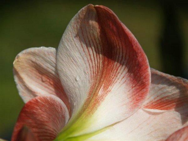 "Obrázek ""http://fotos.euroresidentes.com/fotos/plantas/images/amarilis%203.jpg"" nelze zobrazit, protože obsahuje chyby."