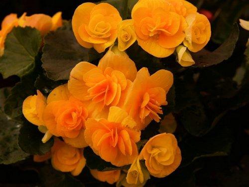 http://fotos.euroresidentes.com/fotos/plantas/interior/images/begonia%20tuberosa.jpg