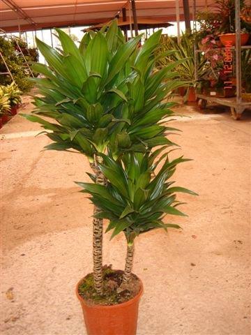 Dracaena - Plantas de interior fotos ...