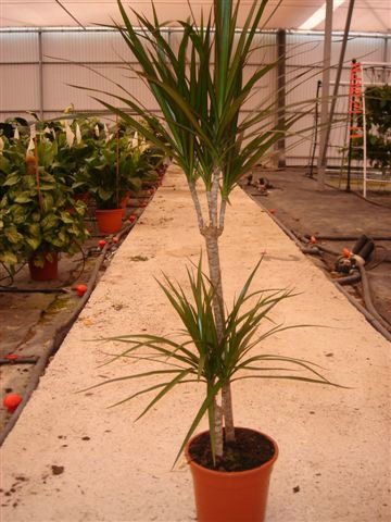 Dracaena for Cuidado plantas interior