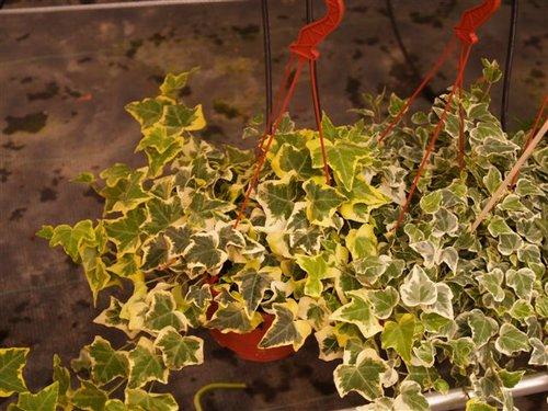 Plantas de interior - Plantas de interior colgantes ...