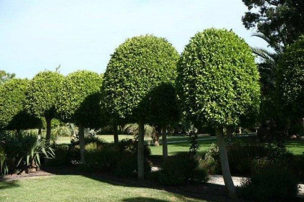 Conoce el laurel cuidado de plantas revista de cuidado for Laurel de jardin