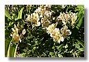 Alstroemeria (Lirio del Perú)