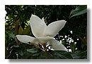 Jardiner a rbol magnolio - Cuidados del magnolio ...