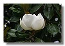 Jardiner a rbol magnolio - Magnolia planta cuidados ...