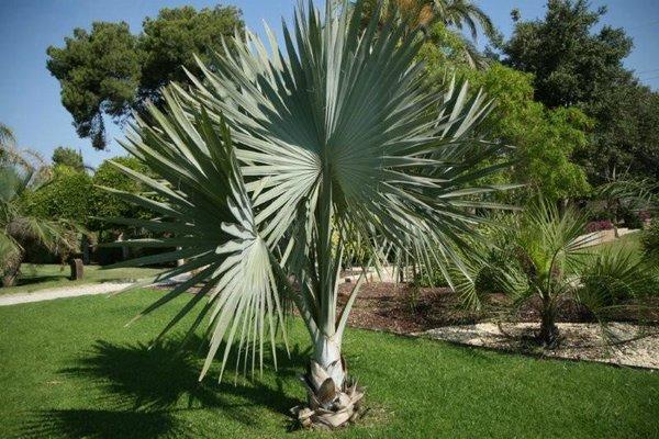 Clases de palmera bismarckia - Variedades de palmeras de exterior ...