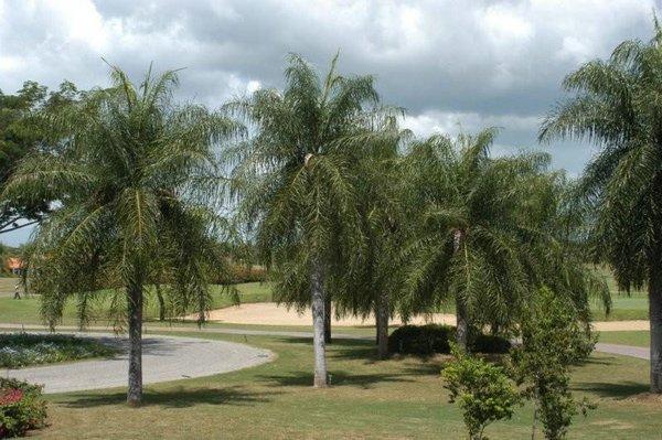 Acrocomia Aculeata, Coyol palmera