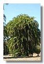 Phoenix Reclinata palmera