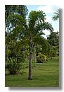 Wodyeyia Bifurcata palmera