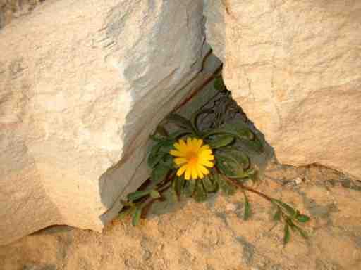 Fotos Cabo de las Huertas nº8: Flor tímida (Alicante)