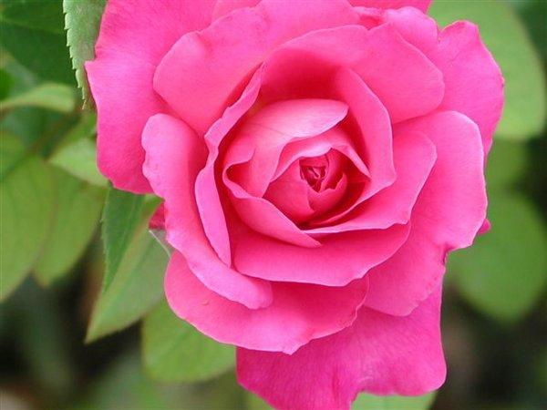 bellisima rosa